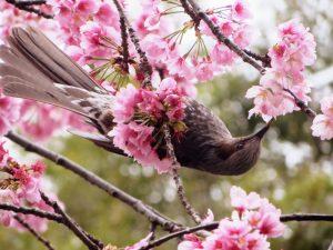fleur-cerisier-japon